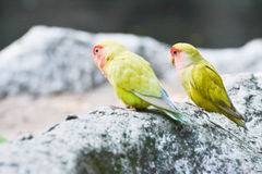 Pair of Lovebirds (Agapornis). On rock Royalty Free Stock Photo