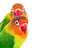 Pair of lovebirds Royalty Free Stock Photos