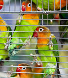 Pair of Lovebirds in a Cage. A pair of beautiful and colorful lovebirds clinging to cage side Royalty Free Stock Images
