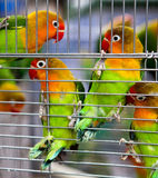 Pair of Lovebirds in a Cage. A pair of beautiful and colorful lovebirds clinging to cage side Stock Photography