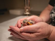 Pair of lovebirds in woman`s hands. Yawn. Closeup stock photography