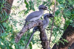 Couple of Grey Hornbills on branch. A pair of lovely Indian grey hornbills Ocyceros birostris sitting together on a dry branch, enjoying their meal of fruits stock photo
