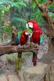 Couple of Ara parrots in love on a tree branch. A pair of lovers Ara parrots on a tree branch, birds park, Thailand royalty free stock photo