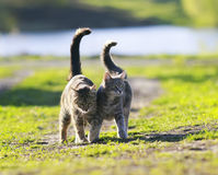 Pair of lovers cat walking on green grass next to a Sunny sprin stock photos