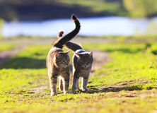 Pair of lovers striped cat walking on green grass next to a Sun stock photography