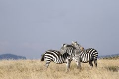 A pair of loving Zebras Royalty Free Stock Images