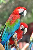 Pair of macaw Stock Photo