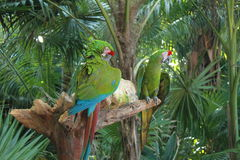 Pair of Macaw Parrots Royalty Free Stock Photos