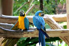 A pair of Macaw Royalty Free Stock Photography