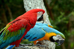 Pair macaw sitting on branch Royalty Free Stock Image