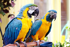 Pair of Macaws. Pair of blue and yellow macaws on a perch royalty free stock image