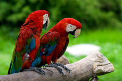 Pair Macaws. Picture of a pair of standing macaws Stock Images