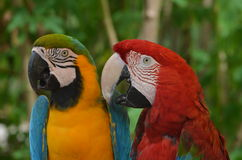 A Pair of Macaws Royalty Free Stock Image
