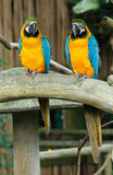 Pair of Macaws. A pair of Colorful Macaws perching on the wood Royalty Free Stock Image