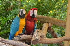 Pair of Macaws on a Log Perch Royalty Free Stock Photography