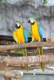 Macaws perching at wood branch. A pair of macaws perching at wood branch in the zoo Stock Images