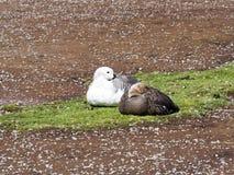 The pair Magellan Goose, Chloephaga picta, Volunteer point, Falkland Islands - Malvinas Royalty Free Stock Photo