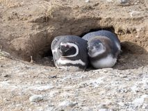 A pair of Magellanic Penguin, Spheniscus magellanicus on nesting burrows, Isla Magdalena, Patagonia, Chile Stock Photography