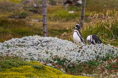 A pair of Magellanic penguins standing at the fence Royalty Free Stock Photos