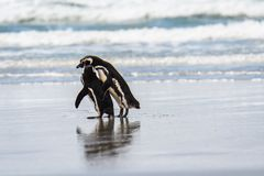 Pair of Magellanic Penguins walking on the beach at water's edge, Falkland Islands royalty free stock images