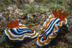 Pair of magnificent chromodoris Royalty Free Stock Photography