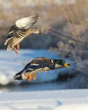 Landing Mallards. A pair of Malalrds landing on a cold winter day Royalty Free Stock Image