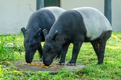 Malayan Tapir Tapirus Indicus also known as Asian Tapir. A pair Malayan Tapirs Tapirus Indicus also known as Asian Tapir having their food royalty free stock photos