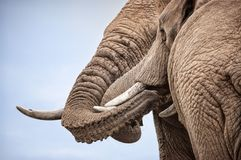 Pair of male elephants with entwined trunks Stock Image