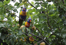 Pair of male and female Australian native Rainbow Lorikeets Stock Images