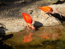 Scarlet ibis drinking Royalty Free Stock Photography