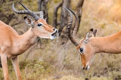 A pair of male impala aepyceros melampus play fighting in the Kruger national park, South Africa. A pair of male impala aepyceros melampus playfully fighting one stock photo