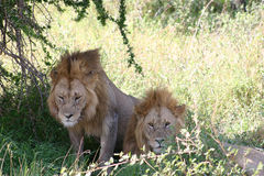 A pair of male lions Royalty Free Stock Photos