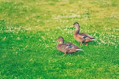 Pair of male mallard ducks eating grass in a park. Pair of male mallard ducks eating grass in a finnish park called Sorsapuisto the Park with ducks from Tampere Royalty Free Stock Photography
