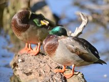 Pair of male mallard ducks in the floodplain of the Minnesota River in the Minnesota Valley Wildlife Refuge.  stock photos