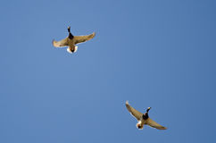 Pair of Male Mallard Ducks Flying in a Blue Sky. Pair of Male Mallard Ducks Flying in a Clear Blue Sky Royalty Free Stock Photos