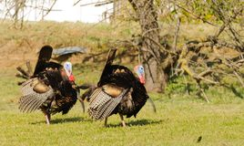 Pair of Male turkey in the spring. Pair of male turkey`s Tom`s  strutting looking for a mate in the spring Royalty Free Stock Photos