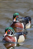 Pair of male Wood Ducks. One male Wood Duck is keeping a close eye on his competition Royalty Free Stock Photos