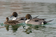Pair of males with a female duck codon royalty free stock photography