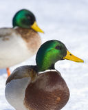 Pair Mallard Drakes. Two Mallard Drakes standing on ice and snow Royalty Free Stock Image