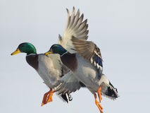 A pair of Mallard Drakes. In flight Stock Photo
