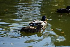 Mallard duck pair in the autumn. Pair of Mallard duck floating on the lake in the autumn Stock Image