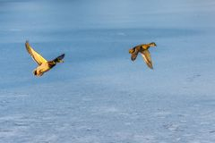 A pair of mallard duck flying around above a frozen lake. A pair of mallard duck flying around over a frozen lake. Male and female. Also known as Anas Royalty Free Stock Photo