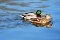 Pair of mallard ducks. Male and female of mallard ducks swimming on blue water with reflection Royalty Free Stock Photos
