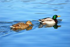 Pair of mallard ducks. Male and female of mallard ducks (Anas platyrhynchos) in indian file swimming on blue water Stock Photos