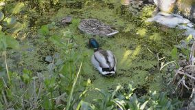 Pair of mallard ducks, anas platyrhynchos, on an english garden pond. Pair of mallard ducks, anas platyrhynchos, foraging amongst pond flowers for duckweed and stock video footage