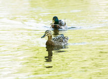 Pair of Mallard ducks - Anas platyrhynchos - in yellow water, be Royalty Free Stock Images