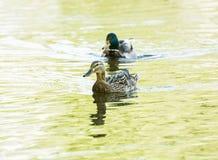 Pair of Mallard ducks - Anas platyrhynchos - in yellow water, be Royalty Free Stock Images