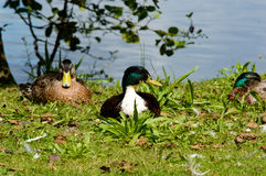 Pair of mallard ducks on a bank. Of a pond or lake resting on the grass in the sunshineand looking to the side Stock Photo
