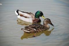 A pair of Mallard Ducks, Bedgebury Stock Photography