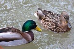 Pair of mallard ducks in breeding plumage Stock Photo